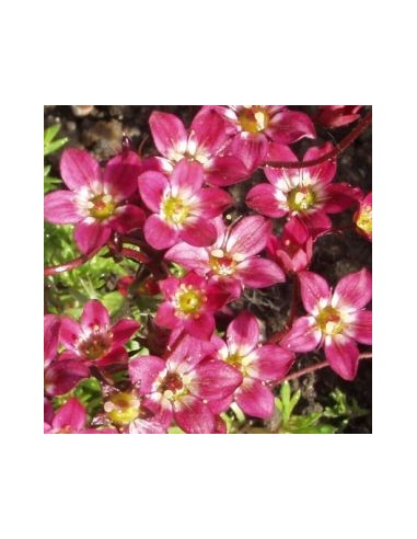 Saxifrage d'Arends purpurteppich