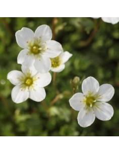 Saxifrage d'Arends schneeteppich