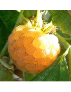 Framboisier Fallgold