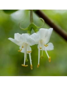 Chèvrefeuille d'hiver - Lonicera fragantissima