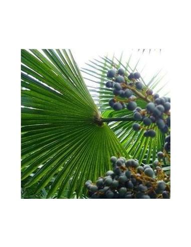 """Palmier de Chine """"Trachycarpus Fortunei"""""""