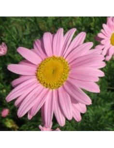 "Pyrèthre ""Robinson's pink"""
