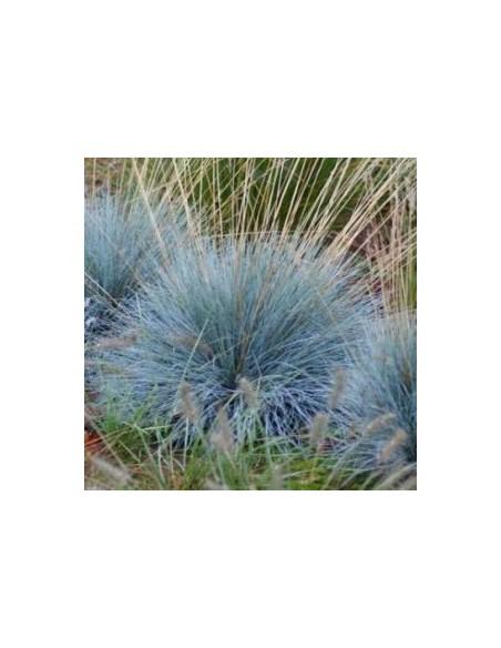 Fetuque bleue Elijah blue