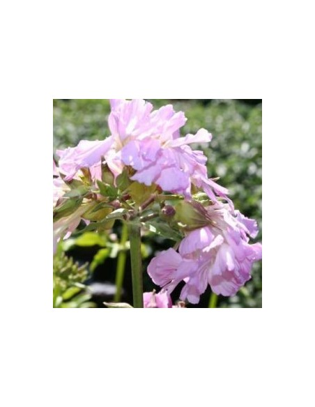 Saponaire officinale rosea plena