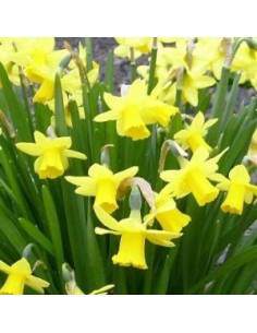 Narcisse Trumpet Carlton - 100 bulbes calibre 12