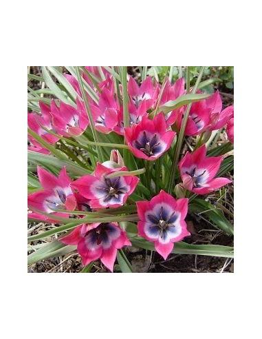 Tulipe botanique little beauty