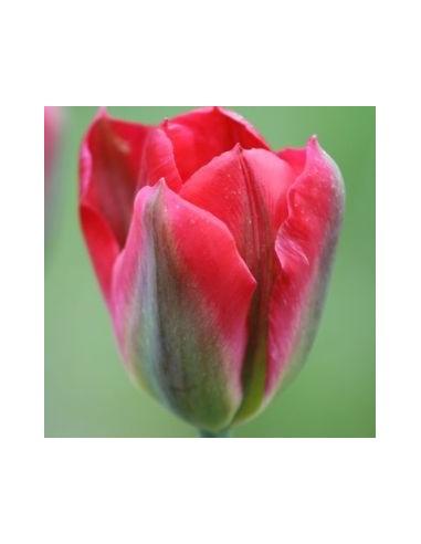 Tulipe viridiflora red spring green