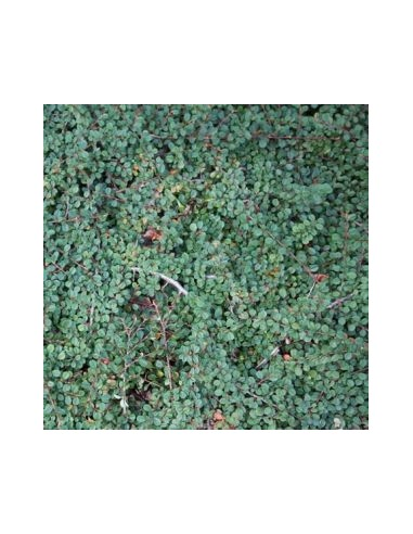 "Cotoneaster à petites feuilles ""Queen of carpets"""