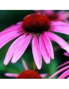 Rudbeckia pourpre rubinstern