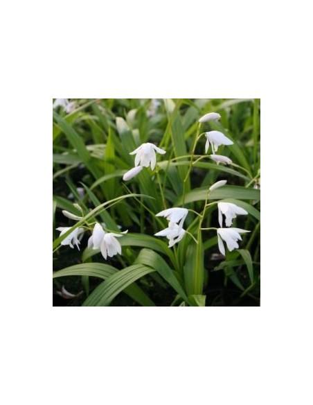 Orchidée jacinthe blanche