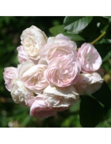 Rosier ancien Bouquet Parfait