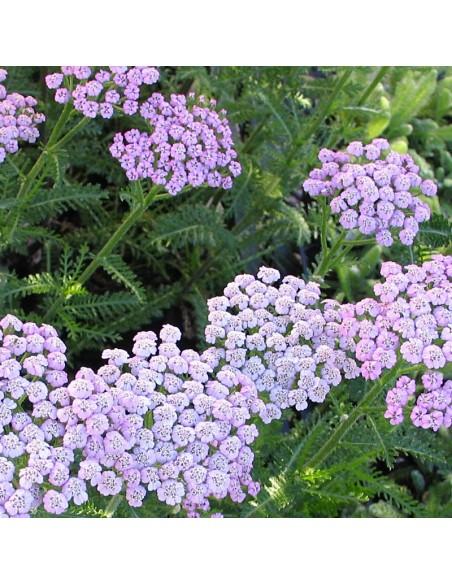 "Achillée ""Lilac beauty"""