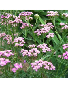 Achillée Lilac beauty