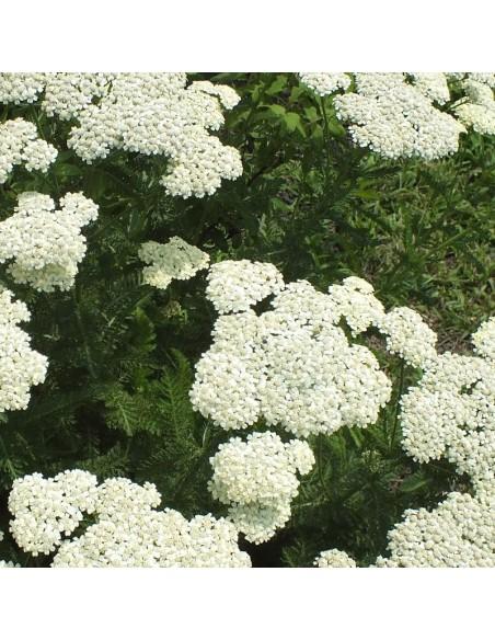 Achillée millefeuille White beauty
