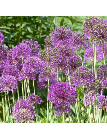 "Ail d'ornement ""Purple sensation"""