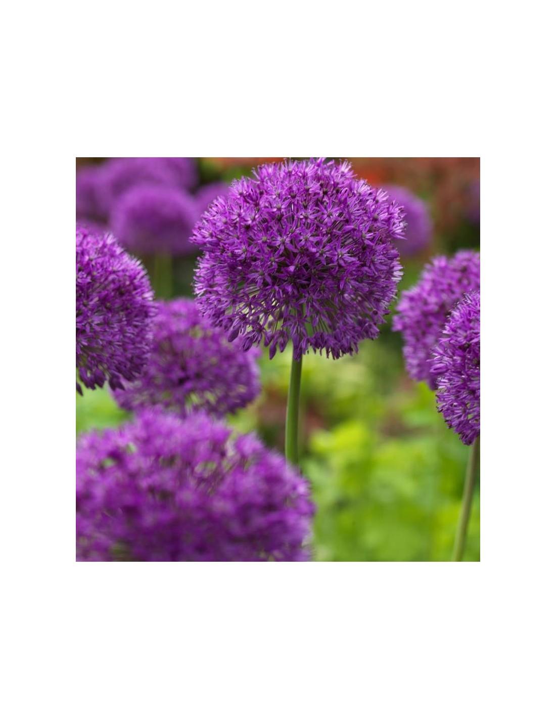 ail d 39 ornement purple sensation les jardins d 39 hauti re. Black Bedroom Furniture Sets. Home Design Ideas