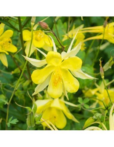 Ancolie à fleurs jaunes Yellow queen