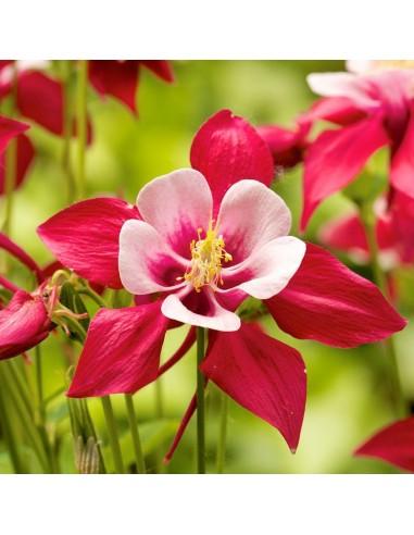 "Ancolie des jardins ""Crimson star"""
