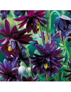 Ancolie des jardins Black Barlow