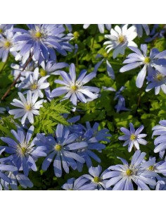 Anémone de Grèce Blue shades