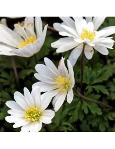 Anémone de Grèce White splendour
