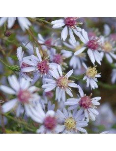 Aster Photograph