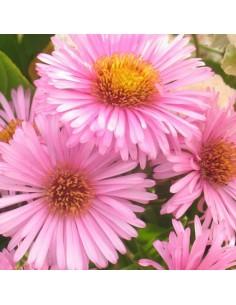 Aster de Nouvelle Angleterre Harrington pink