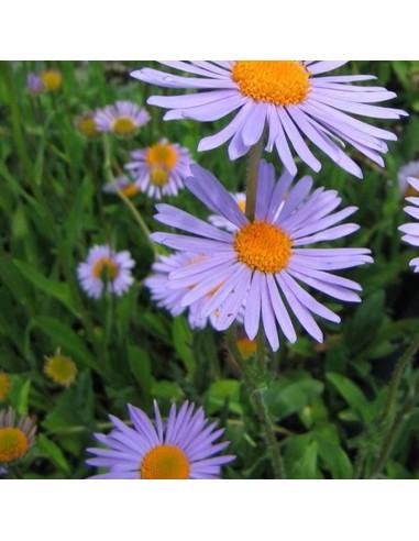 Aster de printemps Wartburgstern