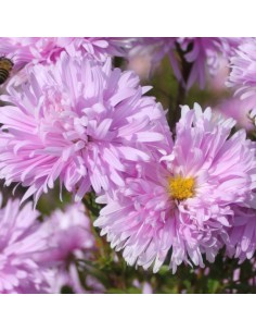 Aster grand d'automne Fellowship