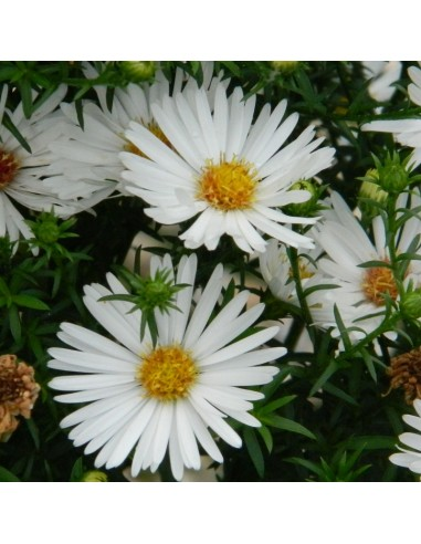 Aster grand d'automne White ladies