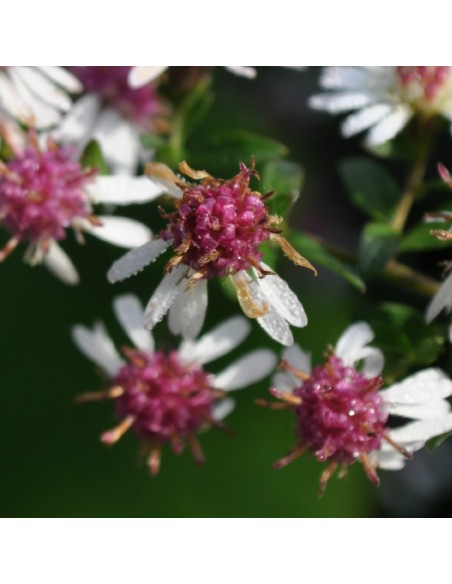 """Aster lateriflorus """"Lady in black"""""""