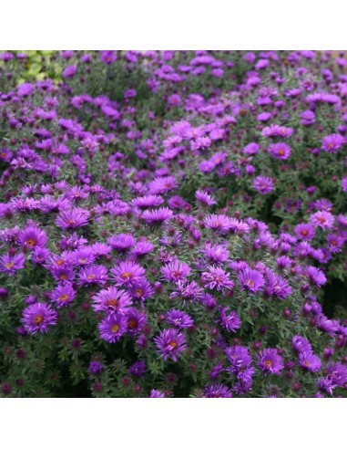 Aster nain Purple dome
