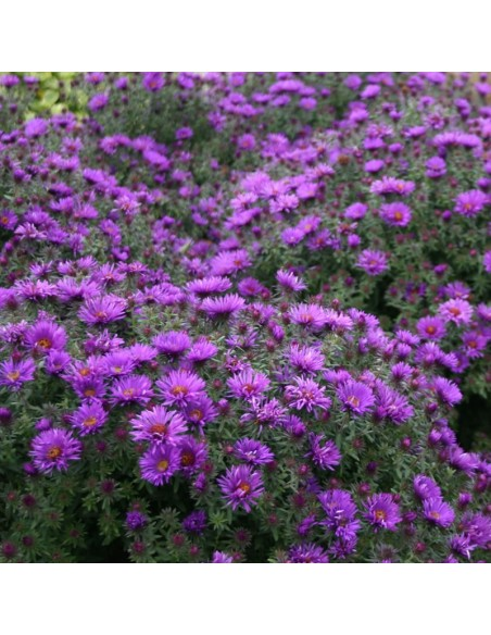 "Aster nain ""Purple dome"""