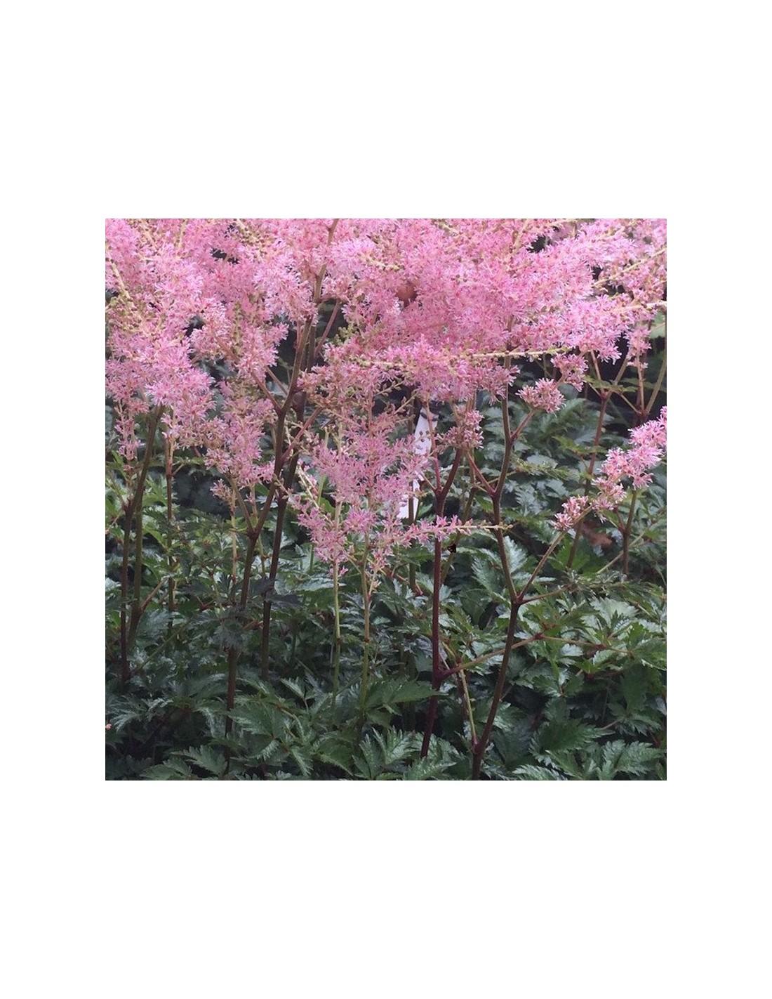 astilbe à feuille simple hennie graafland - les jardins d'hautière