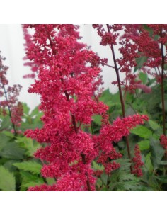 Astilbe d'arends Fanal