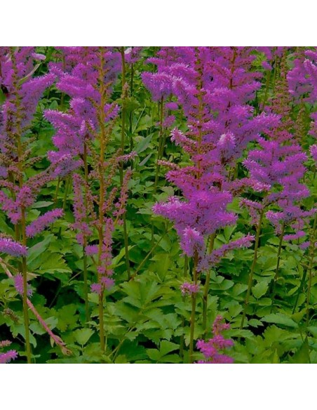 Astilbe de Chine Superba