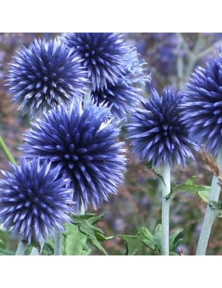 Boule azurée Veitch's blue