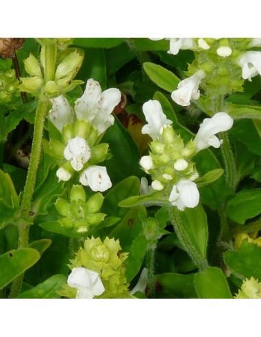 Brunelle à grandes fleurs alba