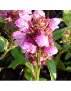 Brunelle à grandes fleurs pink loveliness
