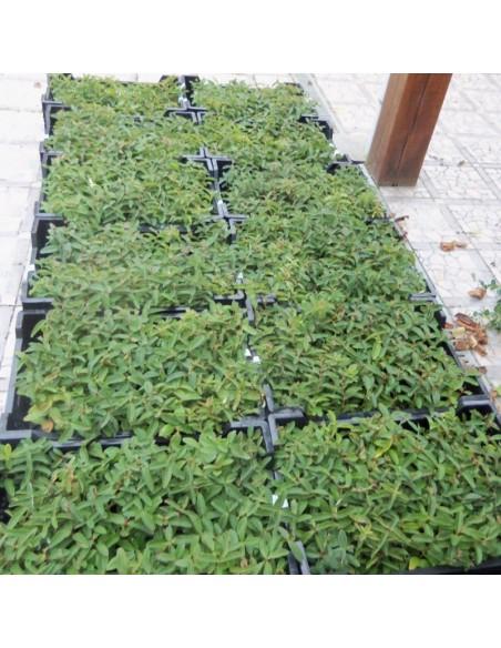 Millepertuis rampant - Hypericum calycinum