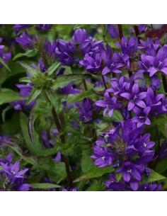 Campanule à bouquets Acaulis