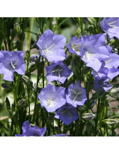 Campanule feuilles de p cher telham beauty les jardins - Campanule a feuilles de pecher ...