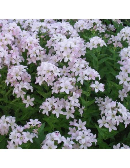 Campanule à fleurs laiteuse Loddon Ana