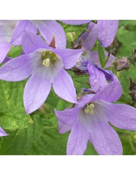 Campanule à fleurs laiteuse Prichards variety
