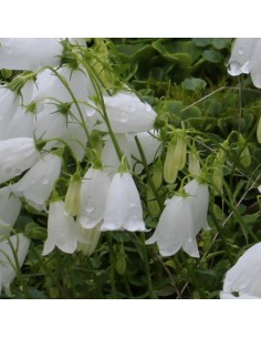 Campanule baby white
