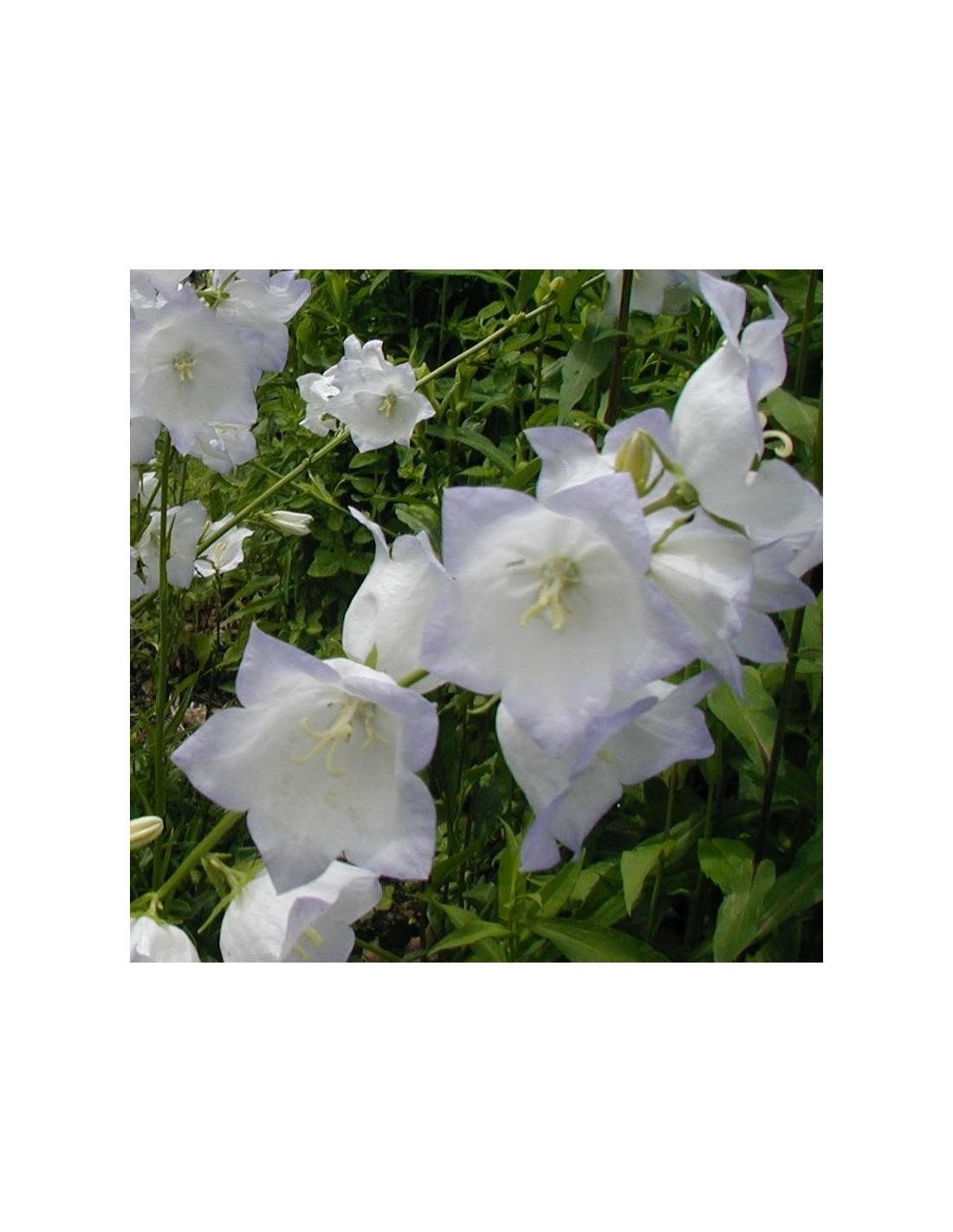 Campanule blanche feuilles de p cher les jardins d 39 hauti re - Campanule a feuilles de pecher ...