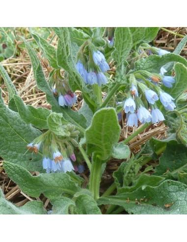 Consoude à grandes fleurs Hidcote blue