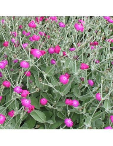 Coquelourde des jardins Atrosanguinea