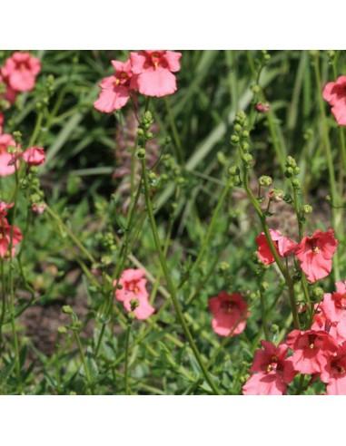 Diascie Ruby field