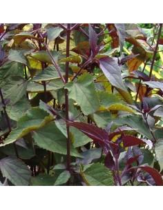 Eupatoire à feuilles molles chocolate